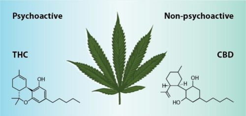 THC vs. CBD: What's The Difference?